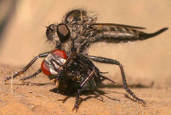 Female Robber Fly gets prey - Efferia aestuans - female