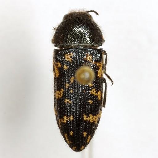 Acmaeodera obtusa Horn - Acmaeodera obtusa