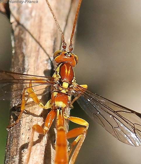 Ichneumon - Grotea californica - female