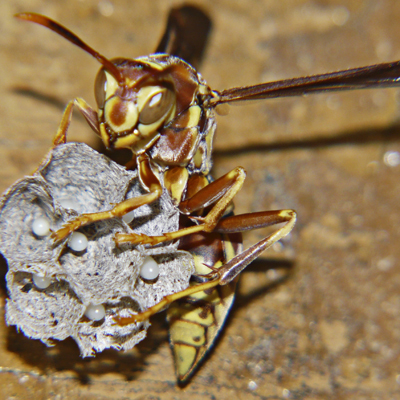 Paper Wasp - Polistes exclamans - female