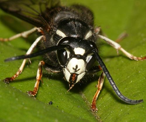Blackjacket - Vespula consobrina - male