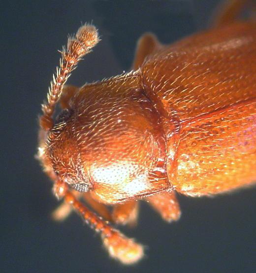 Hadromychus chandleri Bousquet & Leschen - Hadromychus chandleri - female