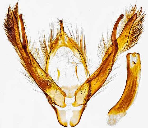 genitalia - Spaelotis clandestina - male