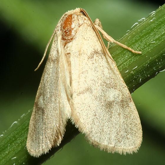 Moth - Narthecophora pulverea