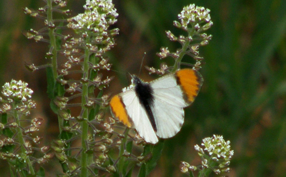 Sara Orangetip - Anthocharis julia - male
