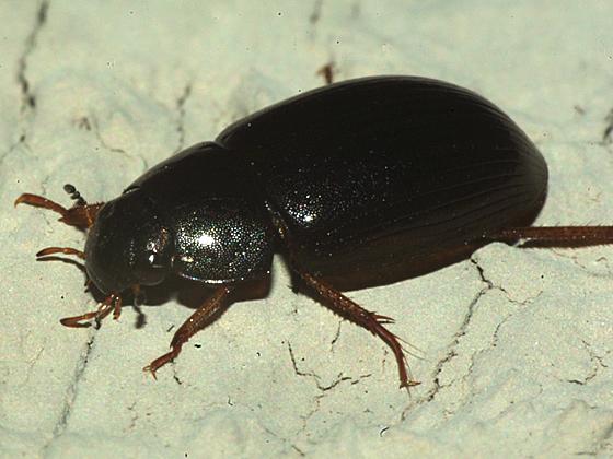 Beetle - Hydrobius fuscipes