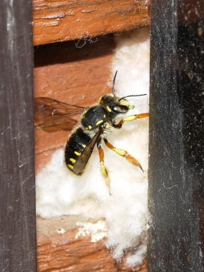 Wool Carder Bee - nest building - Anthidium manicatum - female