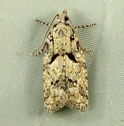 Epinotia hopkinsana 3297 - Epinotia hopkinsana