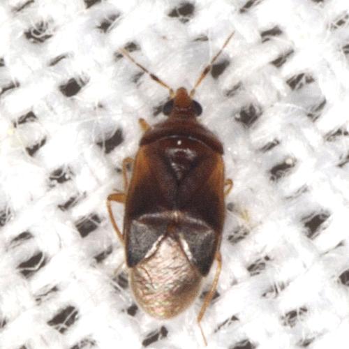 Plant Bug - Cardiastethus