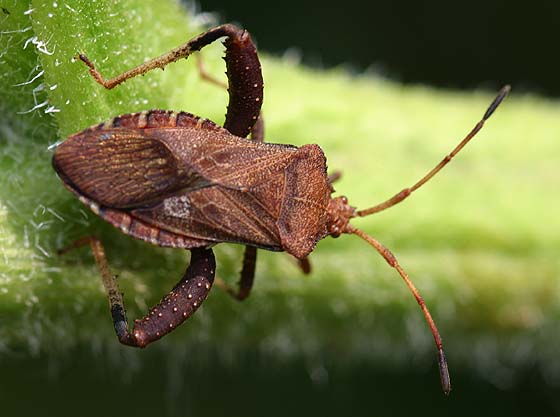 Helmeted Squash Bug - Euthochtha galeator - male