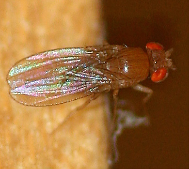 Tiny fruit fly - loves banana peels! - Drosophila - female