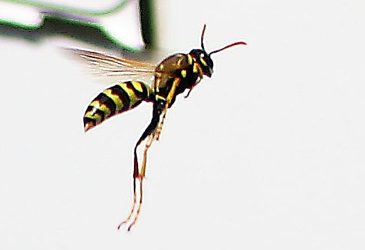 European Paper Wasp, flying - Polistes dominula