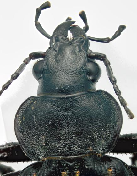 Carabidae - Fiery Hunter, head & pronotum - Callisthenes calidus