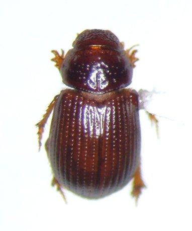 Psammodiini - Leiopsammodius malkini