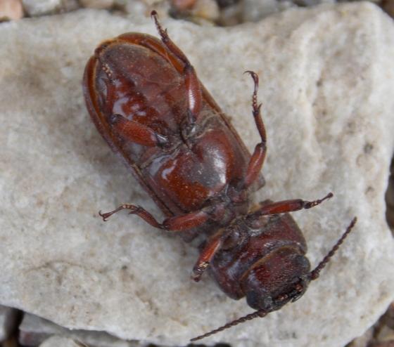Beetle for ID - Neandra brunnea