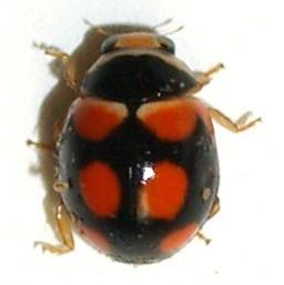 Coccinellidae from Madera canyon. Brachiacantha? - Brachiacantha arizonica - male