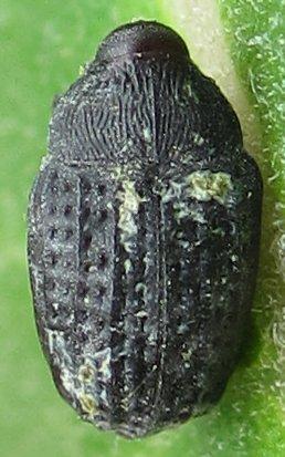 Beetle - Rhyssomatus lineaticollis