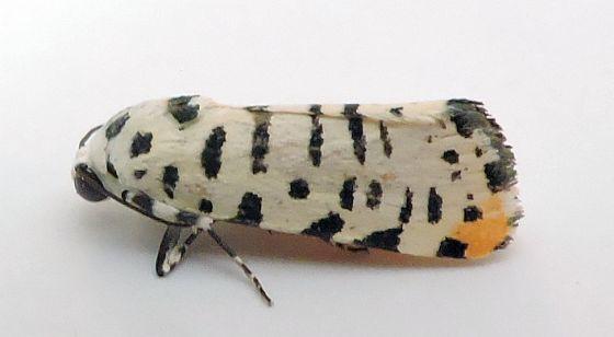 Arizona Moth - Tarache idella