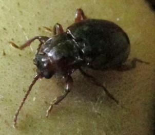 beetle 1 - Lycoperdina ferruginea
