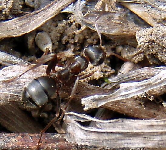 Ant - Formica montana