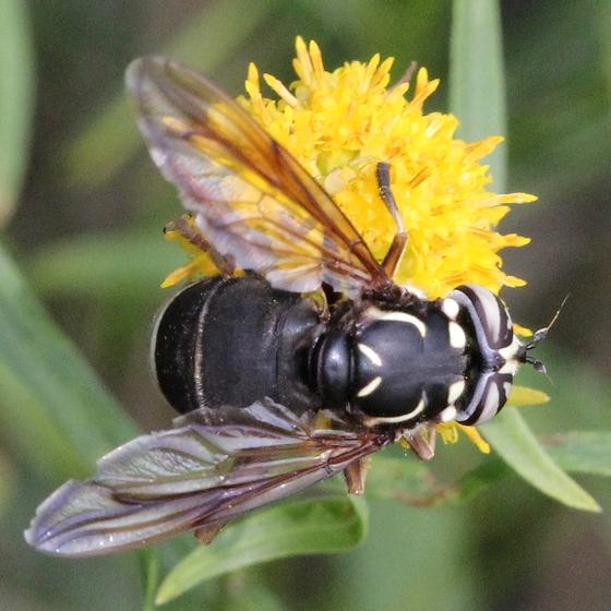 ON Sep - Spilomyia fusca - female