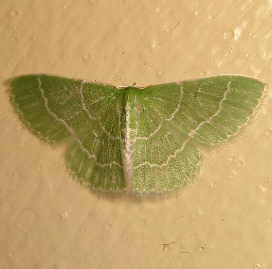 Wavy-lined Emerald - Hodges#7058 - Synchlora aerata