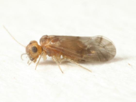 Peripsocus stagnivagus  Chapman - Peripsocus stagnivagus - female