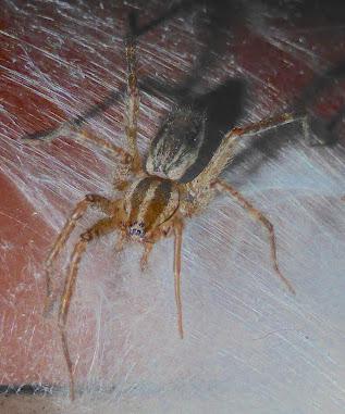 Funnel Weaver - Agelenopsis