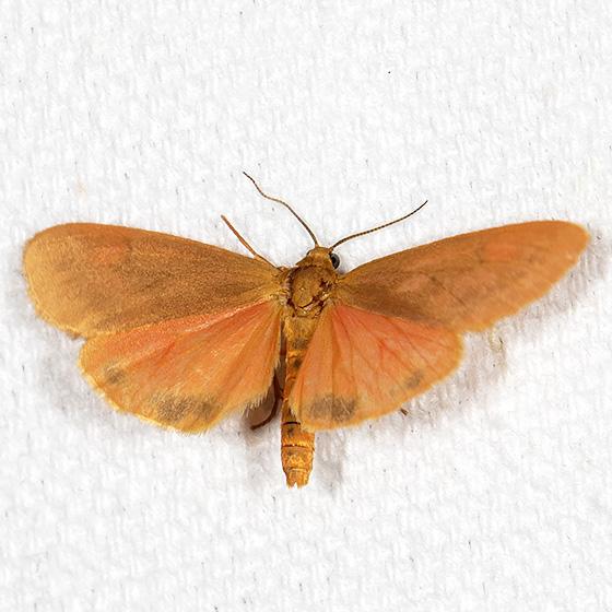 Orange Holomelina - Hodges#8121 - Virbia ferruginosa
