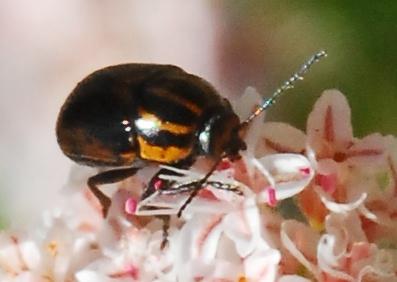 Awww..cute li'l beetle - Cryptocephalus castaneus