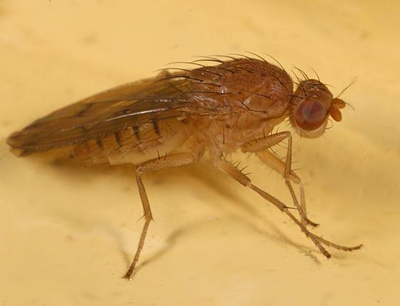 small hairy fly - Suillia