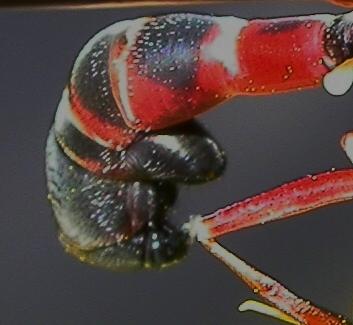 Physoconops - female