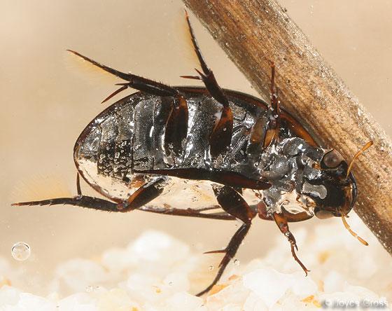 water scavenger beetle - Tropisternus