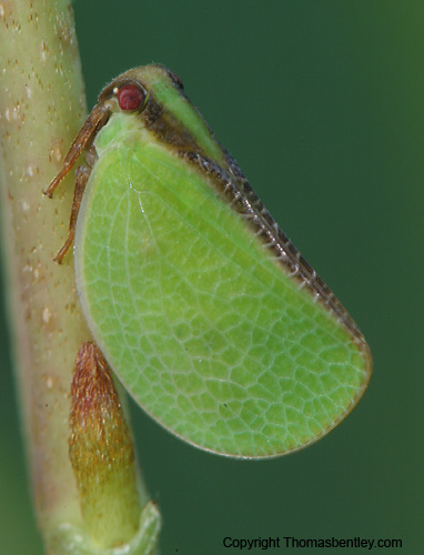 Two-striped Planthopper (Acanalonia bivittata) ?? - Acanalonia bivittata