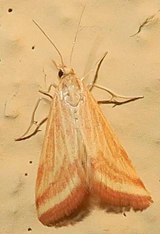 Yellow-veined Moth - Microtheoris ophionalis