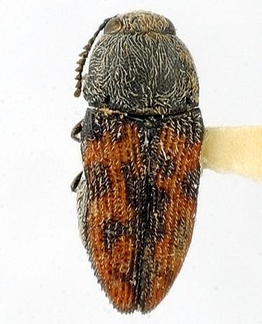 Acmaeoderoides ferruginis Wellso & Nelson - Acmaeoderoides ferruginis - male