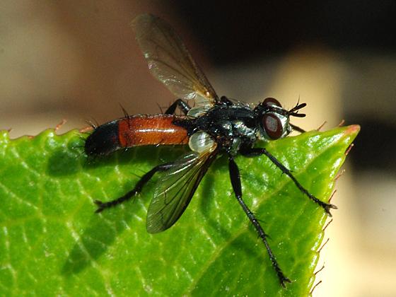 Tachinid Fly - Cylindromyia