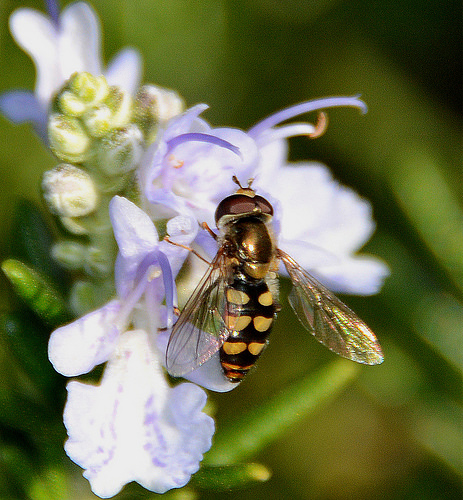 Syrphid Fly species - Eupeodes