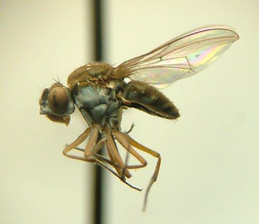 Fly - Brachydeutera argentata