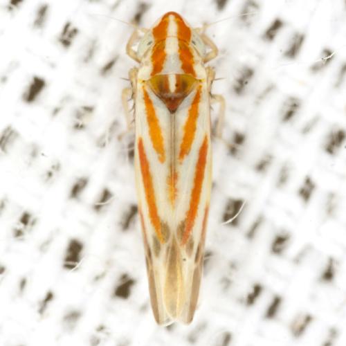 Typhlocybinae Leafhopper - Erythridula crataegi
