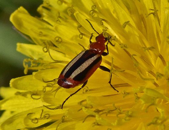 Beetle 7353-7355-7358 - Lebia vittata