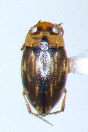 Liodessus affinis