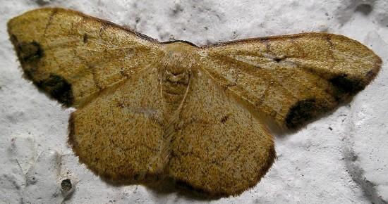 moth - Semaeopus marginata
