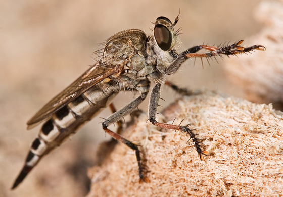 Robber Fly - Efferia albibarbis - female