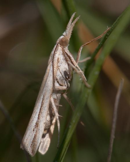 Floridian Grass-veneer Moth - Thaumatopsis floridella