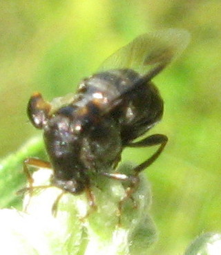small bee/fly with hitchhikers - Ripiphorus