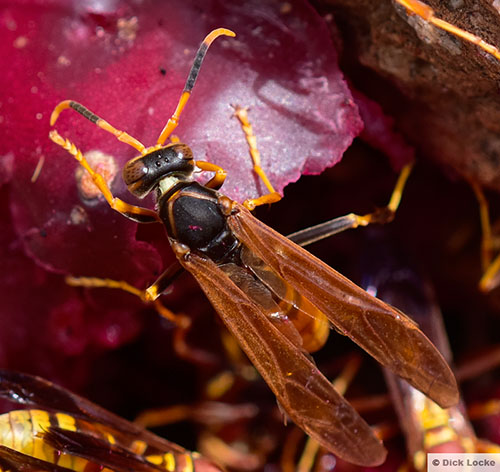 Wasp with Black Back from Davis Mountains TX High Desert - Polistes comanchus - male