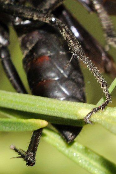 Black wasp with orange antennae - Entypus