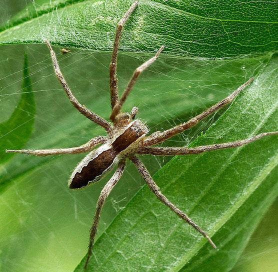 Spider #6 - Pisaurina mira - female