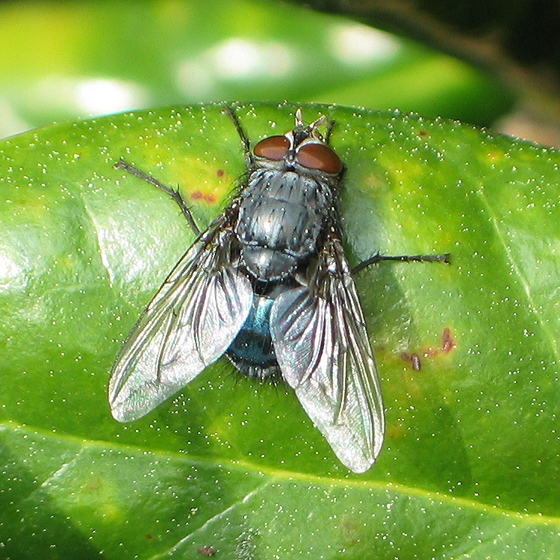 Blow Fly - a black and blue fly - Calliphora